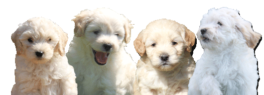 Adorable Miniature Goldendoodles | Puppies For Sale